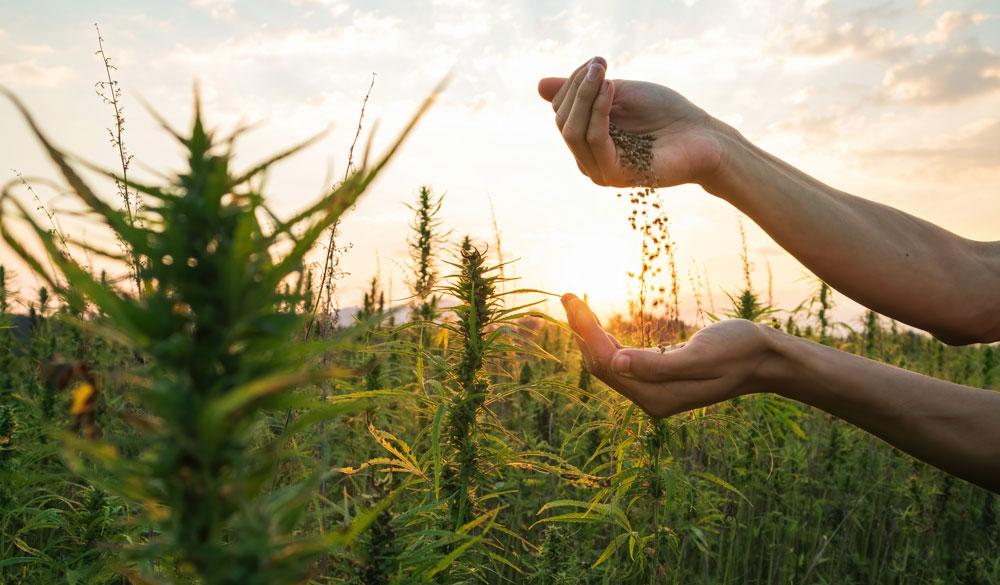 Was ist Tetrahydrocannabinol (THC)? Bedeutung & Wirkung
